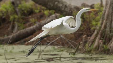 Great Egret, Gliding To A Landing - click to enlarge
