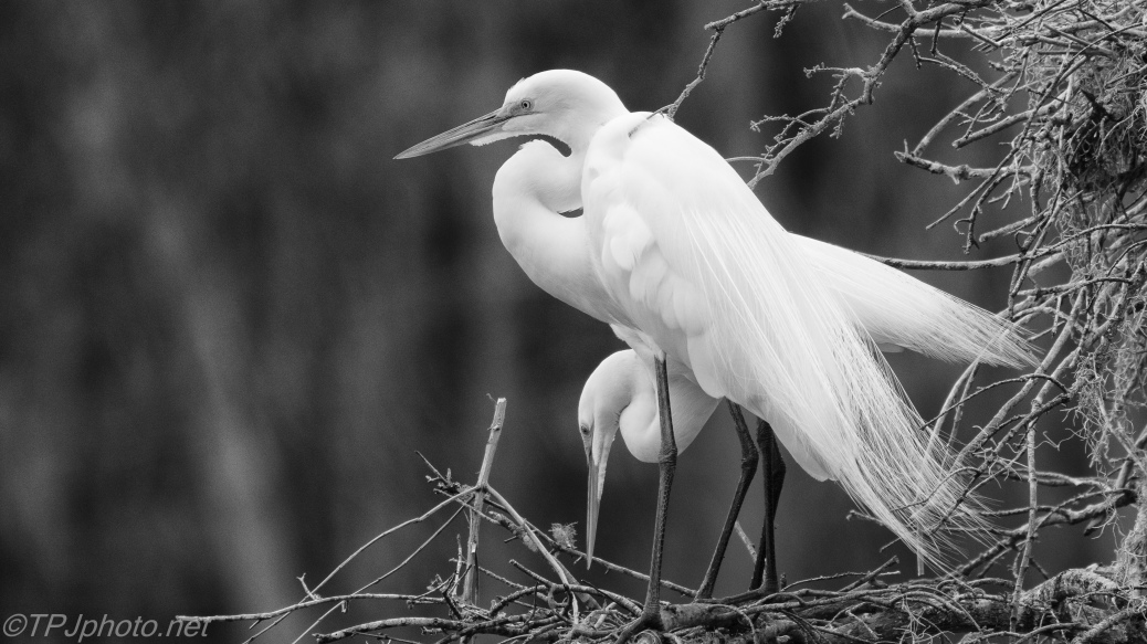Nesting, Great Egrets, Black And White - click to enlarge