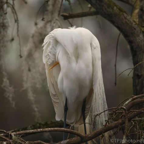Headless Egret...Sleeping - click to enlarge