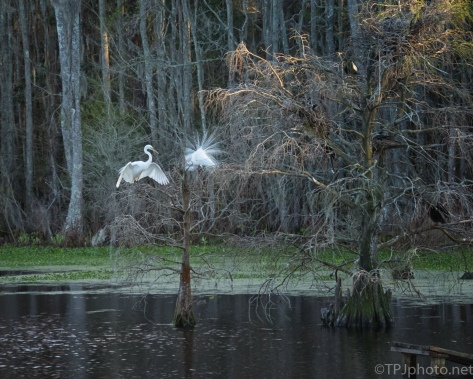 Great Egrets Finding A Mate - click to enlarge