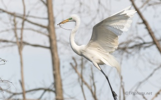 Great Egret, Making Her Happy - click to enlarge