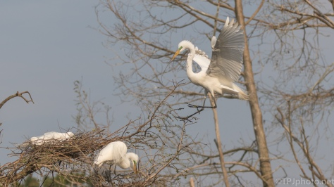 Great Egret Coming To A Nest - click to enlarge