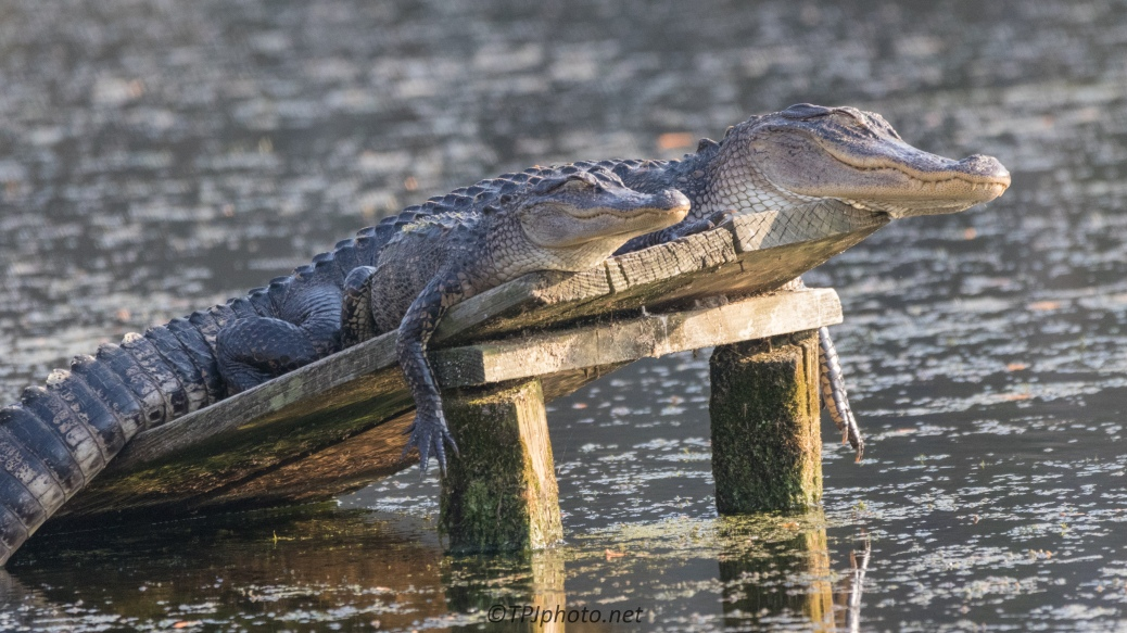 Togetherness, Alligator - click to enlarge