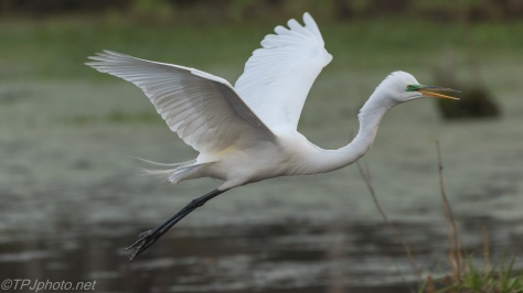 Egret, Close In Flight - click to enlarge