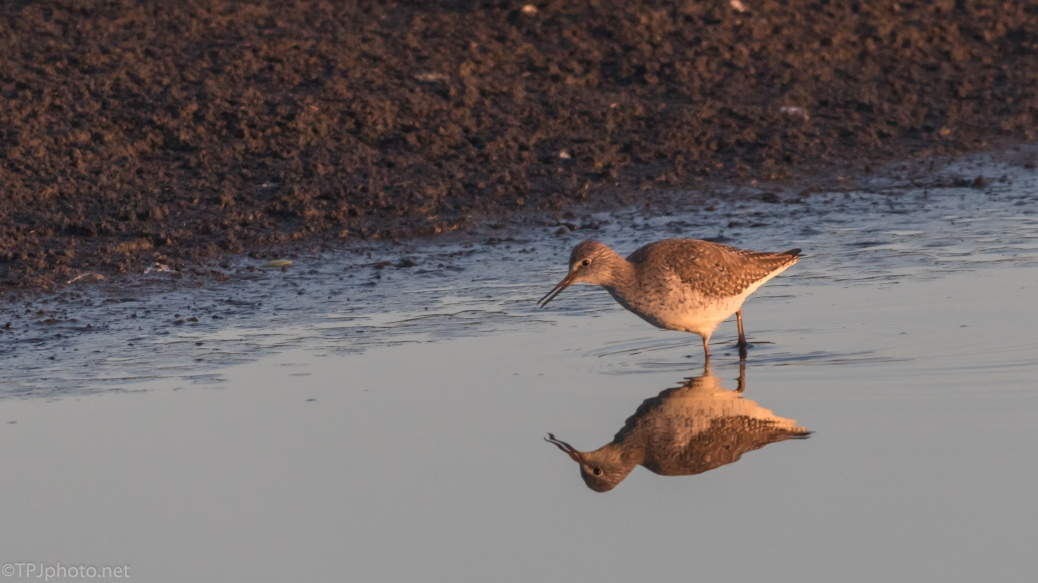 Dunlin At Dawn - click to enlarge