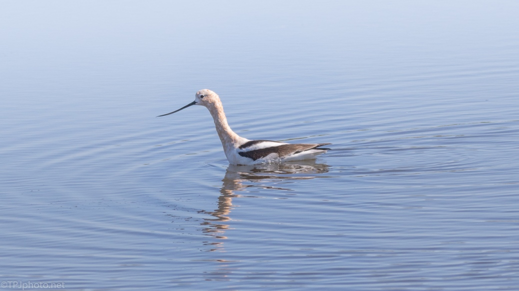 One American Avocet, click to enlarge