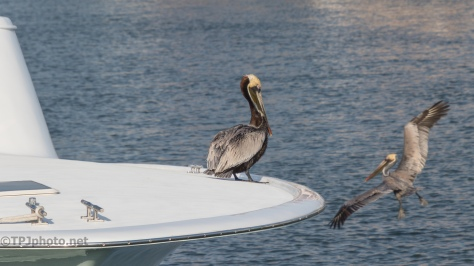 On The Bow, Pelican - click to enlarge
