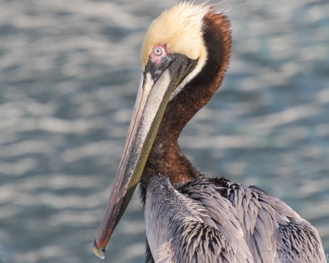 Brown Pelican Up Close - click to enlarge