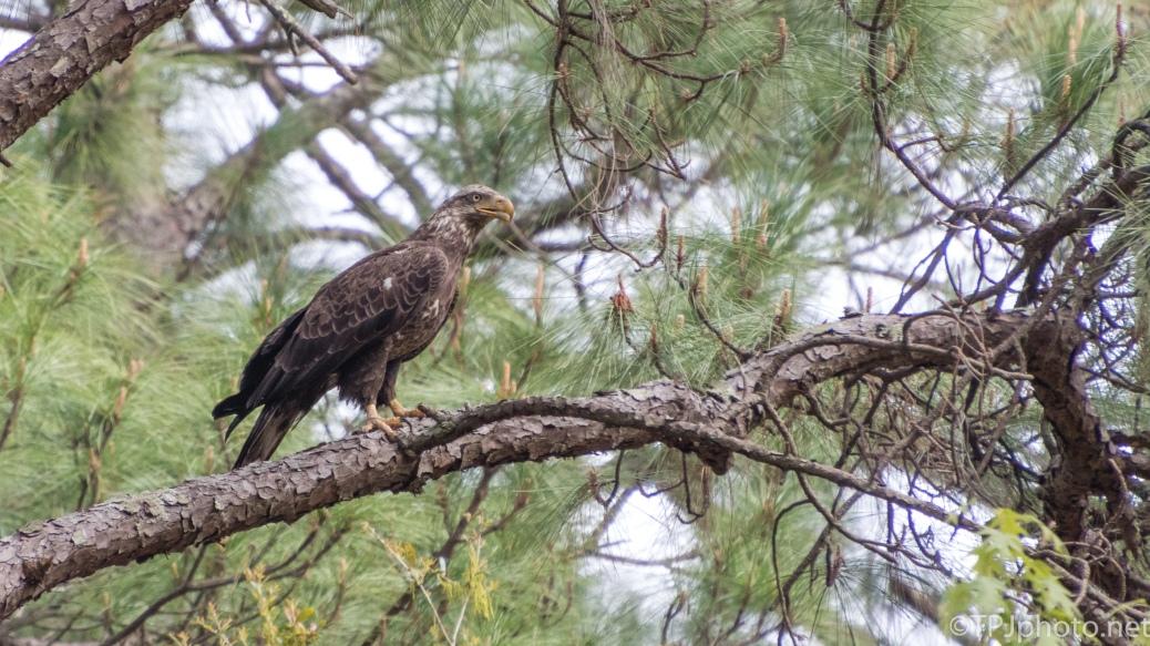 Juvenile Bald Eagle - click to enlarge