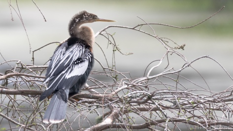 Female Anhinga, Cypress Tree - click to enlarge
