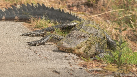 A Mom, Alligator - click to enlarge