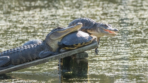 They Just Do These Things, Alligator - click to enlarge