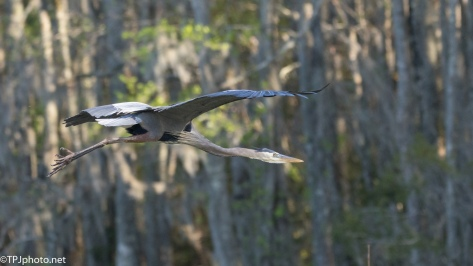 Great Blue Heron, Leaving A Swamp - click to enlarge