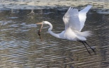 Egret Taking Flight, A Series - click to enlarge