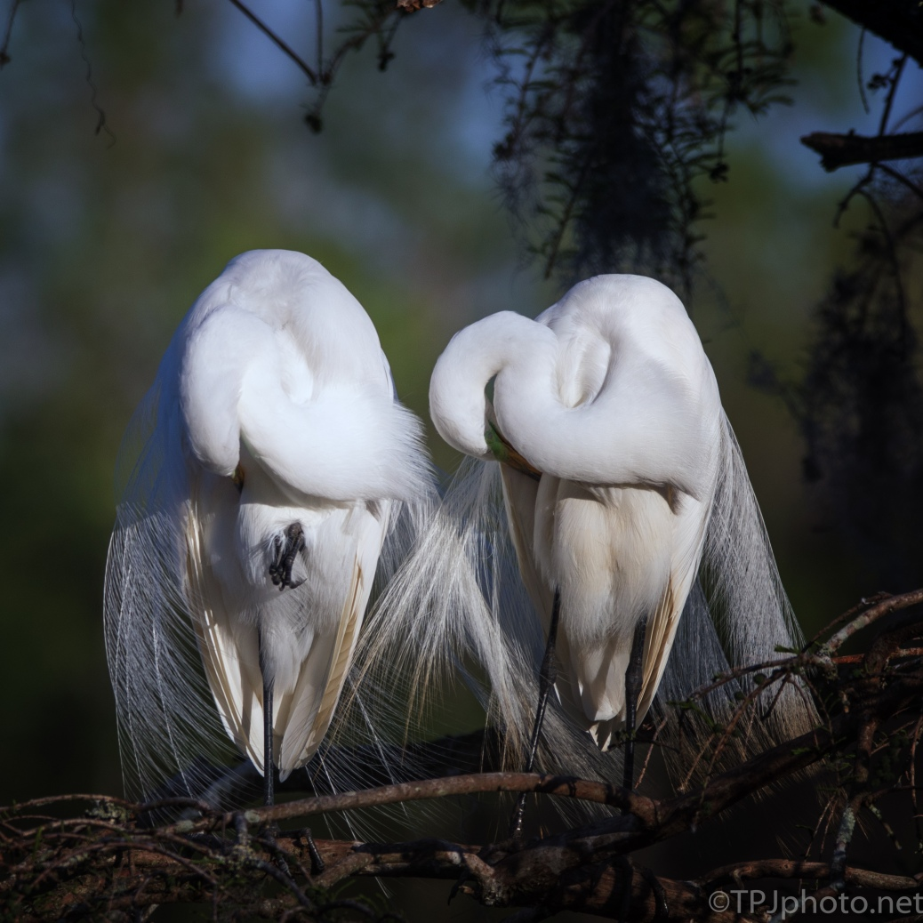 Tired Pair Of Great Egrets - click to enlarge