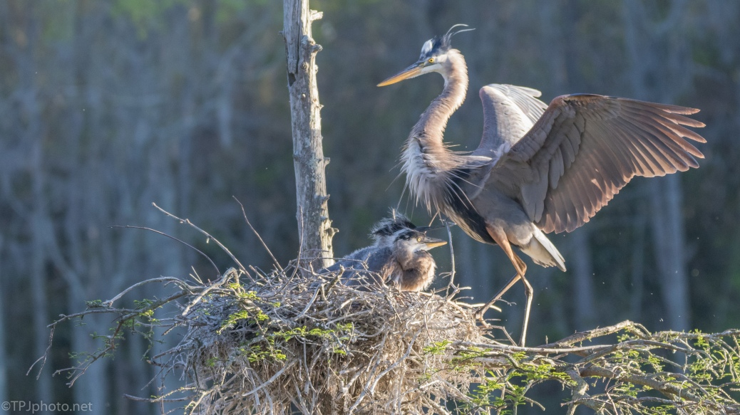 Back To The Nest, Great Blue Heron - click to enlarge