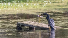 Anhinga And The Catfish, A Series - click to enlarge