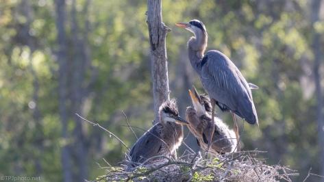 Hoping Food Arrives Soon, Herons - click to enlarge