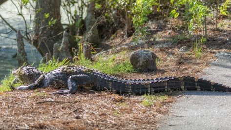Another Alligator On The Trail - click to enlarge