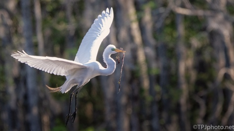 Egret Returning To The Nest - click to enlarge
