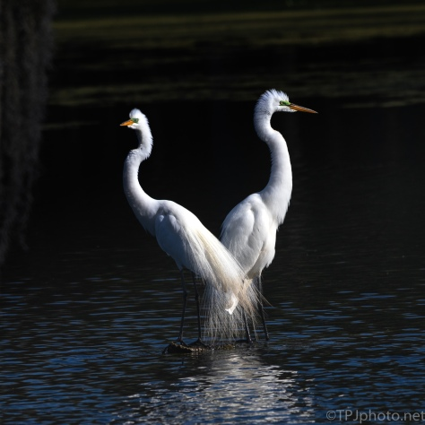 Great Egret Pair, Evening Light - click to enlarge