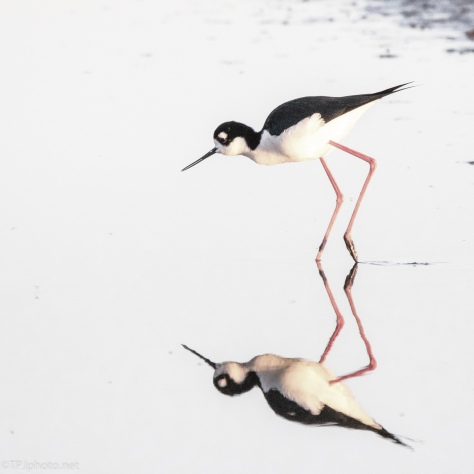 Blacked Necked Stilt, Ballerina - click to enlarge