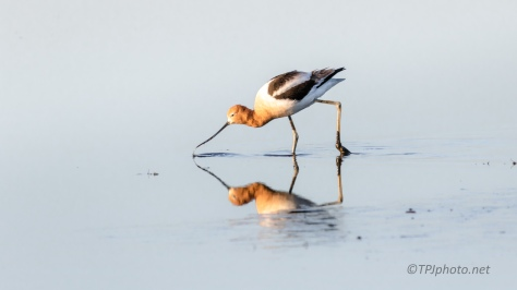 American Avocet Feeding - click to enlarge
