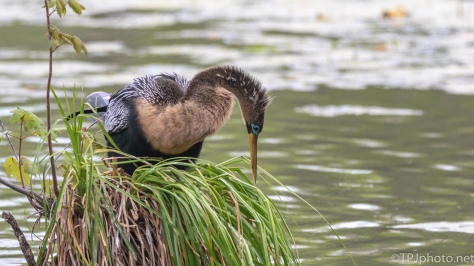 Anhinga Sitting Pretty - click to enlarge