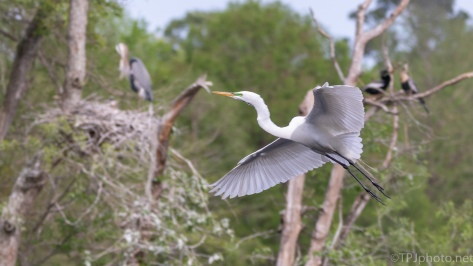 Gliding Through A Rookery - click to enlarge