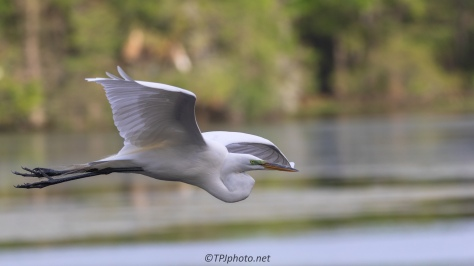 Quick Fly By, Egret - click to enlarge