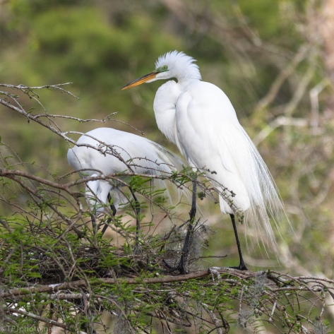 Great Egrets On Nest - click to enlarge