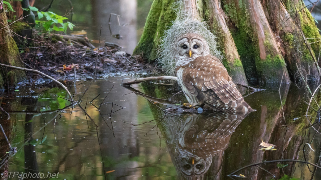 Barred Owl, Reflections In A Swamp - click to enlarge