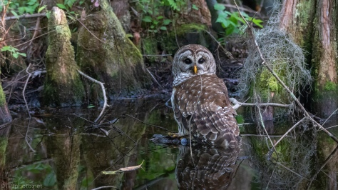 Owl Reflections - click to enlarge