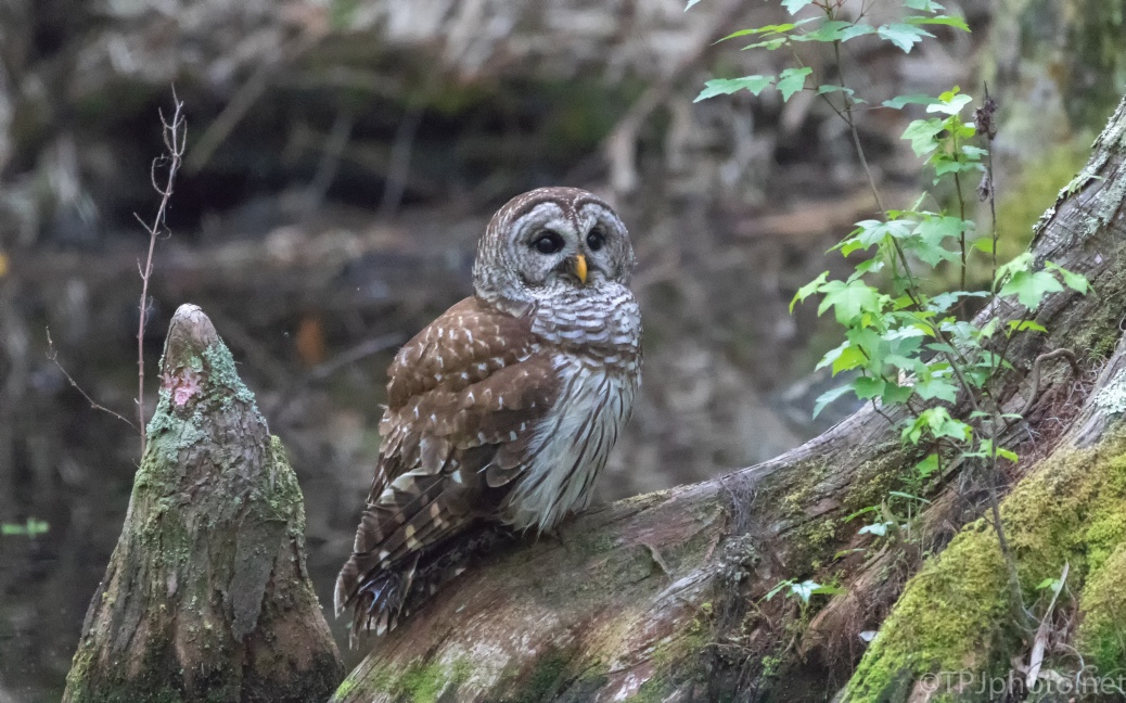 Barred Owl On A Cypress Root - click to enlarge