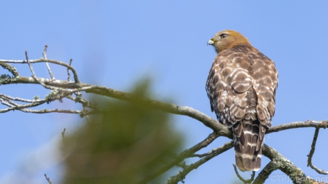 Red-shouldered Hawk Near A Nest - click to enlarge