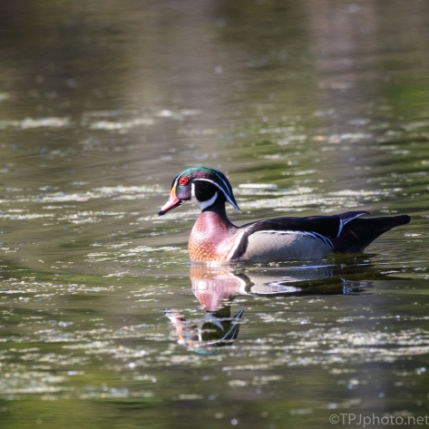Wood Duck Reflections - click to enlarge