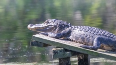 She Could Not Get Comfortable, Alligator - click to enlarge
