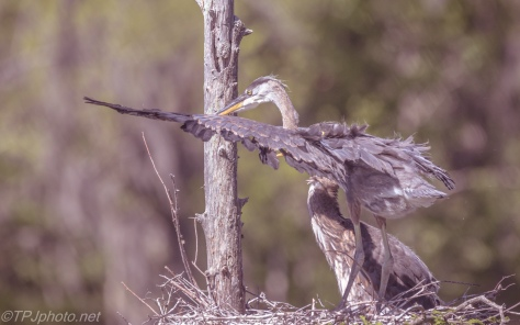 Practice, Young Heron - click to enlarge