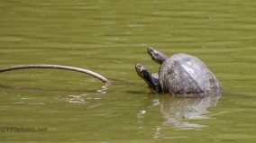 Turtles, Because I have Ignored Them - click to enlarge
