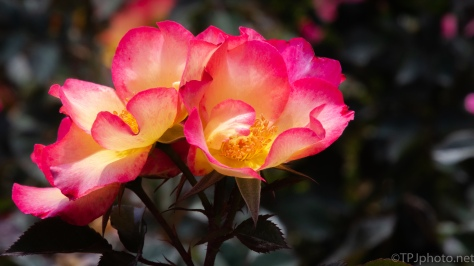 Multi Color Rose - Click to enlarge