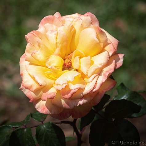 Yellow(ish) Rose - click to enlarge