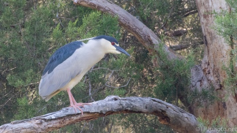 Black-crowned Night Heron, Little Rookery - click to enlarge