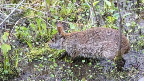 Marsh Hare - click to enlarge