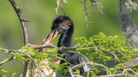 Feeding Young Anhinga - click to enlarge