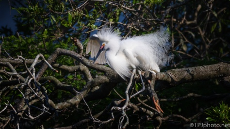 Snowy Egret, All Puffed Up - click to enlarge