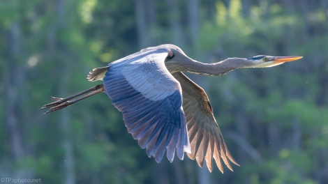 Great Light, Great Flight, Great Blue - click to enlarge