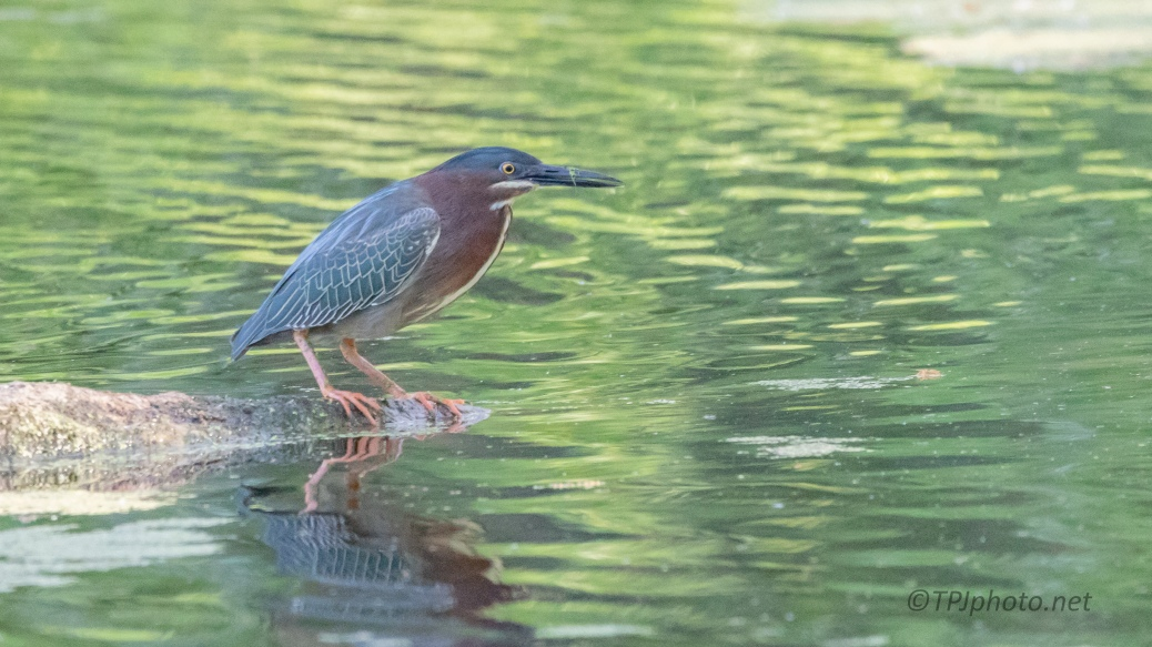 Quick Shot, Green Heron - click to enlarge
