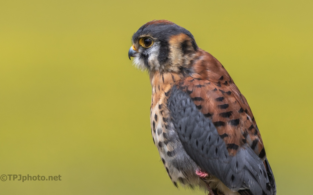 American Kestrel - click to enlarge