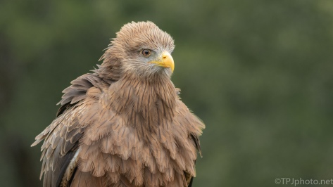 A Yellow Billed Kite (1) - click to enlarge