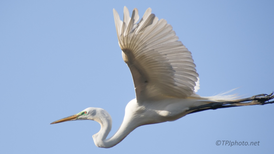 Egret, In Flight - click to enlarge